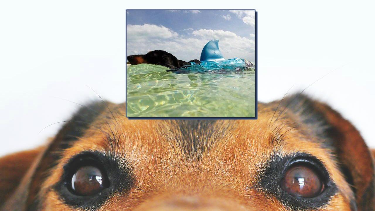 pet-shark-fin-440x367.jpg